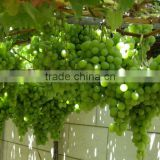 Seeded & seedless grapes