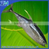 frozen yellowfin tuna loin on sale
