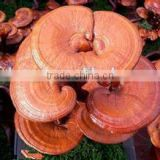 GMP Manufacturer Supply 100% Natural Ganoderma Lucidum Extract Reishi Mushroom Extract power Testing by HPLC