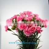 Decorative flowers All Kinds Of Type Color Fresh Cut carnation Cherry carnation Flower From Kunming