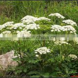 GMP Supplier Angelica Root Extract For Spice