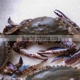 frozen yellow sea blue swimming crabs inexpensive seafood
