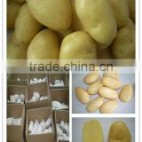 Certified HALAL/ GAP fresh holland potato for Turkey Market
