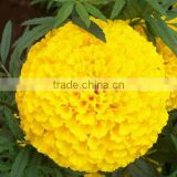 2016 Newly F1 Hybrid Marigold flower seeds for sale
