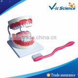 High Quality PVC Dental Teeth Model For Teaching