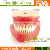 M8018 Oral Surgery Training Model teeth model for dental students