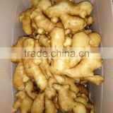 Special supply for supermarket world best price Chinese fresh ginger
