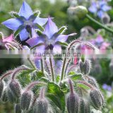 Gold Supplier Of Natural & Pure Borage Oil