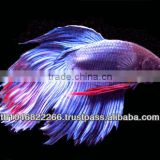 Wholesale Betta fish / Ornamental fish