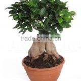 Landscaping flowers and plants Tropical palm tree ginseng ficus bonsai gift for opening ceremony