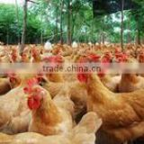 Poultry feed additive with Veterinary medicine with Compound Sulfachloropyridazine Sodium Powder with Poultry coccidiosis drugs