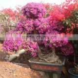 Bougainvillea for garden decoration