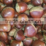 2015 new products snack foods/ organic Fresh Chestnut for sale/tianjin roasted chestnuts