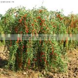 Hybrid F1 Ningxia Best Quality Goji Berry Seeds For Goji Plants Trees 10 years Experience