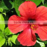 Natural Hibiscus Flower Dried Extract