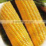 Yellow corn nonGMO