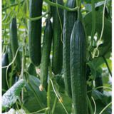 Suntoday Parthenocarpy, Parthenocarpy hybrid variety early maturity cucumber seed(13007)