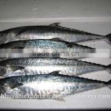 Seer Fish/King Fish/Indian mackerel!