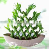 Pyramid lucky bamboo, dracaena sanderiana, bamboo plants, indoor plants, ornamental plants, chinese fengshui plants