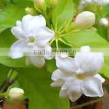 NATURAL JASMINE OIL (JASMINUM SAMBAC)