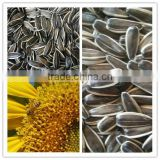 Sunflower Seeds 363 long Shape 2015 New Crop