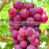 Factory supply 100% natural Grape Skin Extract Powder 5% Resveratrol, 25% Polyphenols