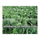 fresh round cabbage wholesale from China