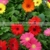 long time preserved Artificial gerbera Flowers For Party Supplier multihead gerbera put down in the table