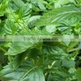 High quality Mesona Chinensis extract /Grass jelly leaves extract /Mesona Chinensis powder