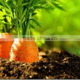 100% Natural Carrot Seed Oil | Carrot Seed Oil For Export