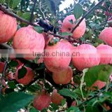 yantai fresh fruit apple,2016 new crop good taste red apple
