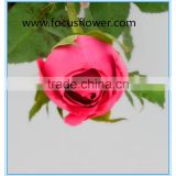 2016 hot sale High Quality Love Roses Fresh Cut Foliage Roses big Pink for decoration from yunnan