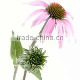 Echinacea with Golden Seal Root