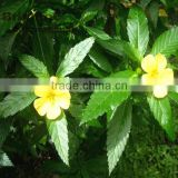 Top quality with free sample Damiana Extract
