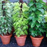 Foliage Plants Bicolor Customized Size Indoor Ornamental Plants Eco-Friendly