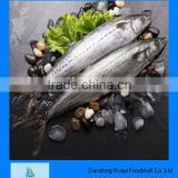 scientific name of mackerel fish