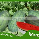 High Yield F1 Hybrid Watermelon Seeds For Planting VGW DT2.01 / Vegetable seeds