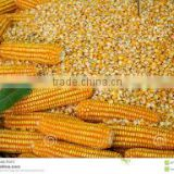Yellow Corn - Animal Feed