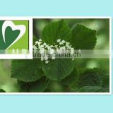 Manufacturer produce Natural Birch leaf extract