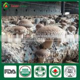 Supplier of Fresh Dried Shiitake Mushroom Growing Shiitake Mushroom Log Spawn for Mushroom Farm