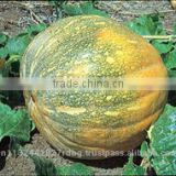 fresh pumpkin export in india/yellow pumpkin/white pumpkin eporters