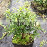 Zanthoxylum Odorum bonsai nursery