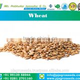 12% Protein Milling Wheat