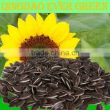 new crop Inner Mongolia sunflower seeds 5009