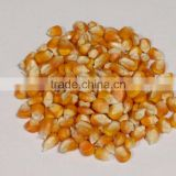 High quality Maize Dried Corn