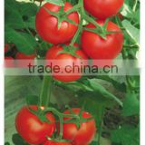 Seed Companies F1 Heat & Humidity Tolerance Hybrid Red Tomato Seeds For Sale-The Red Devil