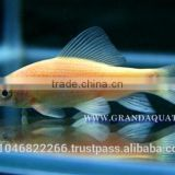 Black Shark Albino Fish Farm For Sale / Aquarium Fish Thailand