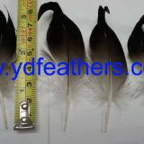 mallard duck curled tail feather