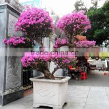 Large size bougainvillea flowering bonsai
