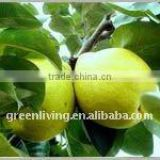 new fresh snow pear from china